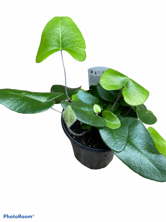 "Fern - Heart Leaf - 4"" Pot"