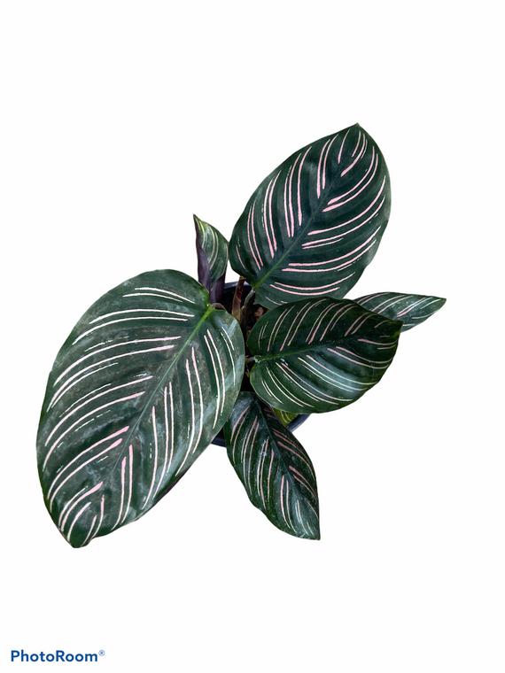 "Calathea Ornata - 'Pinstripe' - 4"" Pot"