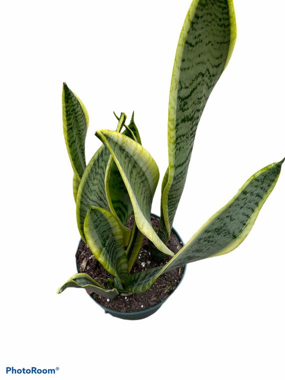 "Sansevieria 'Laurentii' - Snake Plant - 6"" Pot"