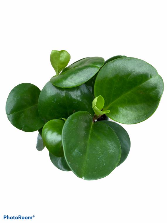 """Peperomia Obtusifolia - Baby Rubber Plant - 4"""" Pot"""