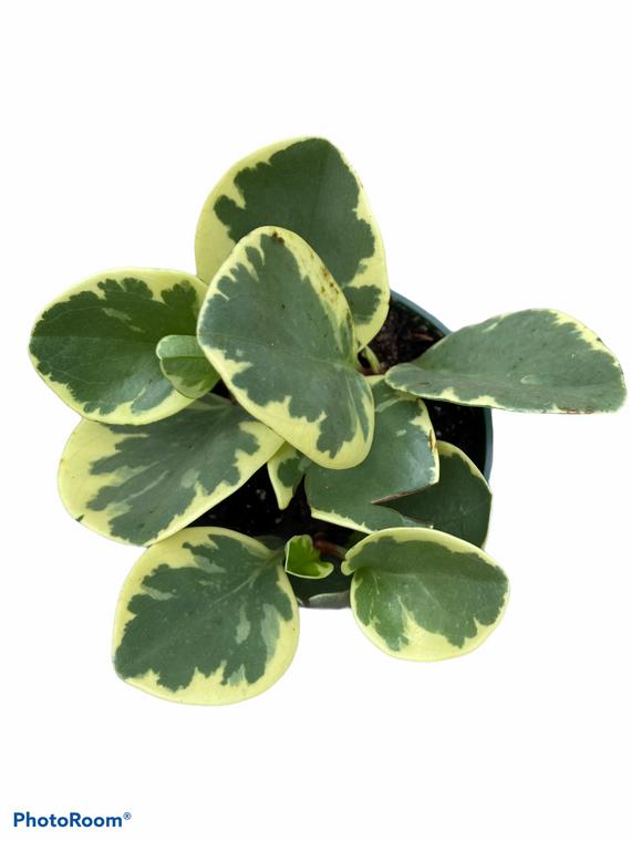 "Peperomia Obtusifolia - Baby Rubber Plant - Vareigated - 4"" Pot"