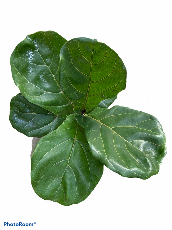 """Fiddle Leaf Fig - Ficus Lyrata - 6"""" Pot"""