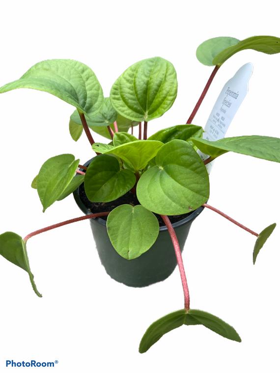 "Peperomia Rana Verde - 4"" Pot"
