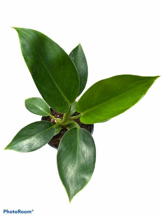 "Philodendron Mia - 4"" Pot - New Hybrid!"