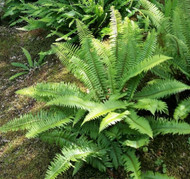Choose Native Fern Plants For Hardiness and Longevity