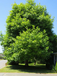 Tulip Poplar Trees Are Large Trees and Do Well in Landscaping