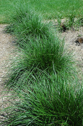 All About Wirey Panic Grass