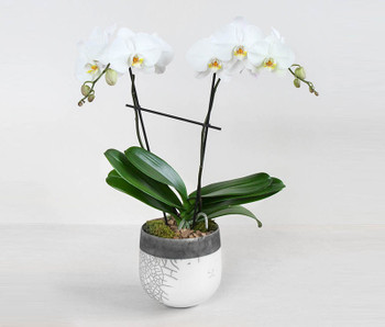 Traditionally celebrated for its rare and refined beauty, the pristine elegance of a phalaenopsis orchid is elevated when set in our specialty Jovi Pot Ceramic by Accent Decor. This is a white ceramic with gold accent. This is very elegant gift that would go well in any decor and occasions.