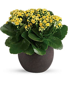 This pretty arrangement features kalanchoe plants. Delivered in a weathered & modern concreate round pot.