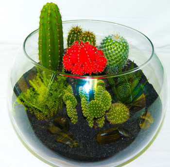 A terrarium is a magical desert ecosystem features a variety of high quality cacti and succulents, soil, gravel, and rocks. The plants require very low maintenance as they are used to living in the drought of the desert.