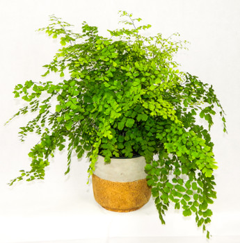 "This delicate fern has small fan shaped leaves on waxy black stems, feathery green foliage that is perfect as an indoor plant. Great for home or office, or any occasion. 6"" concrete planter"