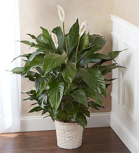 the serene Spathiphyllum plant is a lasting expression of your deepest sympathy. With glossy green leaves and fragrant white blooms, each one is hand-selected by our florists and tucked into a charming woven basket planter. It makes a thoughtful and comforting gift when sent to a service or to the homes of family, friends and colleagues.