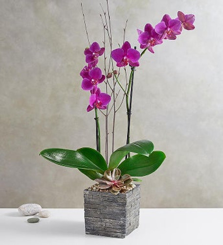 Peace and tranquility of a Zen garden with our exotic orchid. Magnificent magenta petals and a dusty rose succulent add a pop of color and lasting beauty to the home. The natural twig accents and natural wood inspired container bring the beauty of nature indoors. Perfect for any occasion.