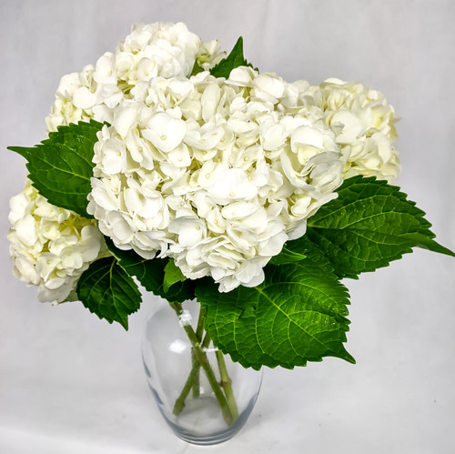 Premium white hydrangeas in a clear glass