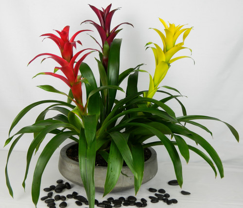 """A beautiful triple bromeliad garden, designer upscale concrete planter. A great gift that is super easy to care for and lasts. Perfect for the home or office. The triple bromeliad is a large design. Bromeliad colors may vary. Approximate 24""""W X 27"""" H"""