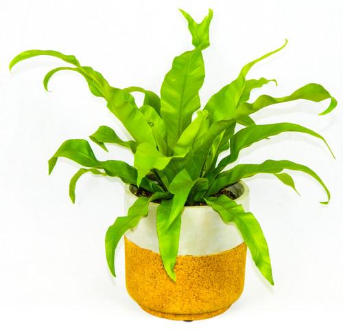 """Bird's Nest Fern in concrete planter, 6"""" Pot planter"""