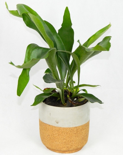 Staghorn fern is one of the most unusual varieties. It's often grown on a piece of wood and hung on a wall, where its fronds grow out and look dramatically like antlers. Because it doesn't need soil, water staghorn fern by misting or soaking it.