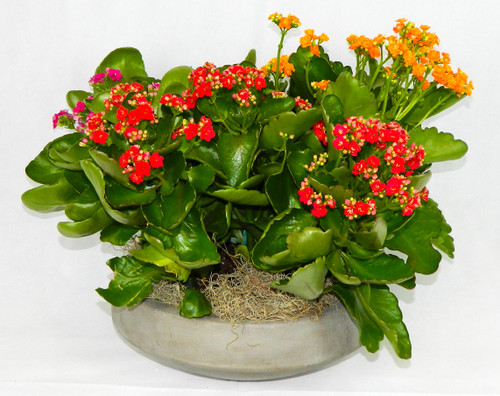 The Kalanchoe Garden is very easy to care for—Kalanchoes tolerate the blackest-thumbed gardener—and these variety rewards minimal care with a display of blossoms in warm autumnal shades of orange and yellow and reds. Kalanchoes assorted colors with 3 6 inch plants in a concrete planter, a great gift for any occasion, home or office.