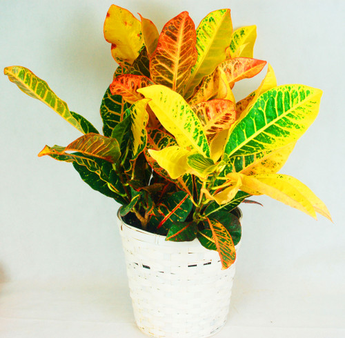 This beautiful 8 inch diameter easy care Croton Plant is a perfect gift to send for many occasions with is glossy red, brown and green foliage. It can serve as a lovely Thank you gift or a long lasting Sympathy gift, great for any occasion, comes in a basket  planter