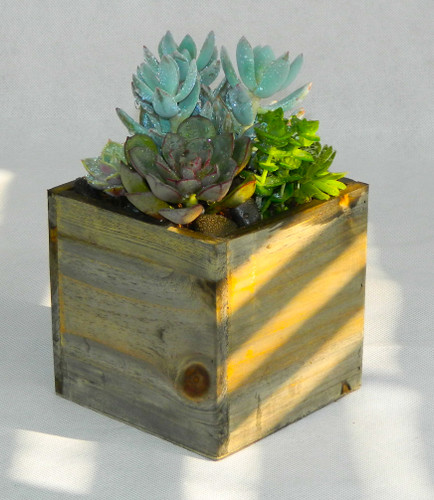 This succulent garden is in a sleek, 5 inch Wooden Cube, it is a lovely, long-lasting addition to any room!  This garden includes green sedum succulents,  green echeveria succulent, small green echeveria succulents, succulents may vary on availability, but we always place a great selection, hand picked from our wholesalers and surrounded with black river rocks.