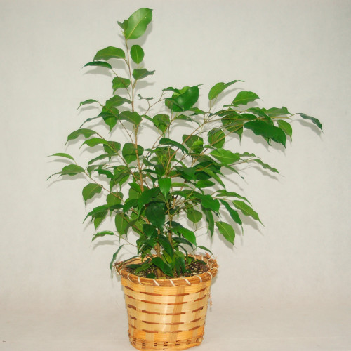 A potted ficus plant with slender, winding stems and a thick bush of leaves on top is potted in a basket, it measures 6 inches in diameter.