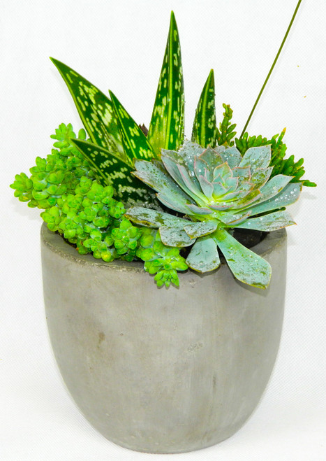 This garden includes green sedum succulents, a large green echeveria succulent, small green echeveria succulents, succulents may vary on availability, but we always place a great selection, hand picked from our growers.