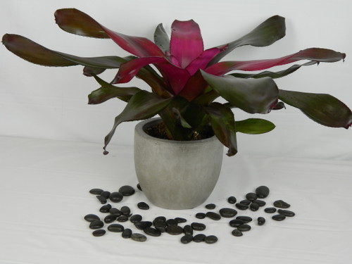 """With intense purple foliage overlaying with bronze overtones, its hard to describe the mesmerizing beauty of this Bromeliad. The super glossy leaves are a hallmark of a Grant Groves Hybrid. It is the """"must-have"""" in most serious collections.It comes in a 6"""" upscale Newport concrete pot."""
