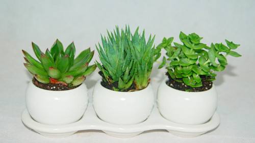 Contains a variety of three succulents, assortment  may vary based on availability Arrives in a beautifully white ceramic planter
