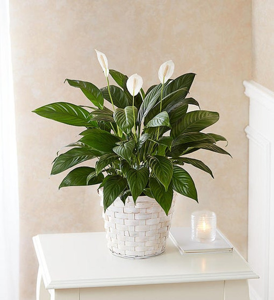 """Also known as the """"peace lily,"""" the serene Spathiphyllum plant is a lasting expression of your deepest sympathy. With glossy green leaves and fragrant white blooms, each one is hand-selected by our florists and tucked into a charming woven basket planter. It makes a thoughtful and comforting gift when sent to a service or to the homes of family, friends and colleagues."""
