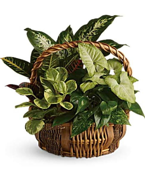 Mixed green plants in a bamboo basket,great for all occasions