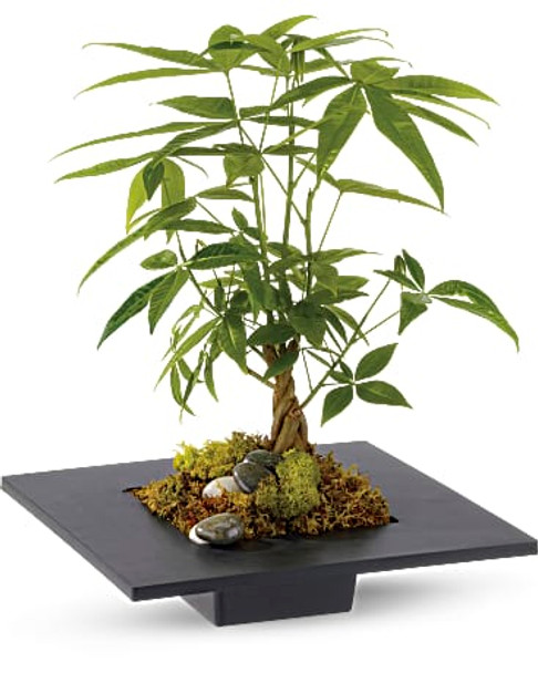 A money tree is planted in a square container, and adorned around the base with deerfoot moss, plus black and white rocks.