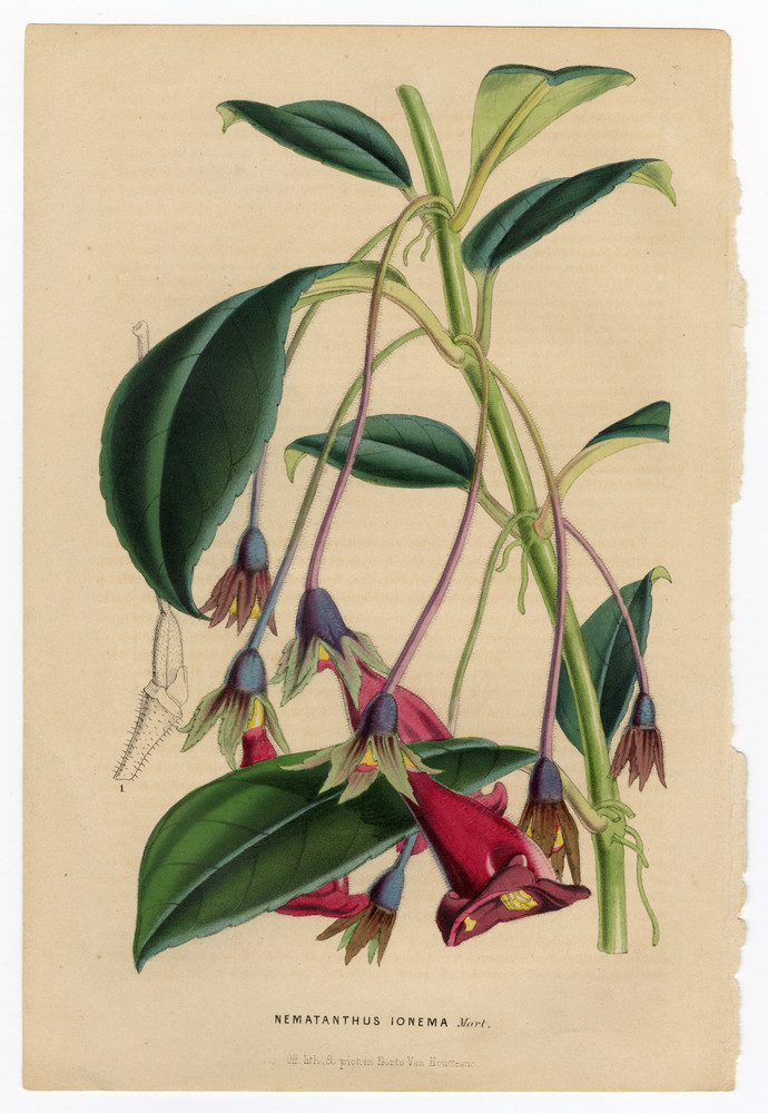 Pair of Original 19th Century Hand-Colored Botanical Lithographs