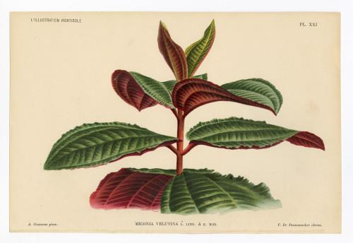 """Miconia"", Original 19th Century Hand-Colored Botanical Lithograph"