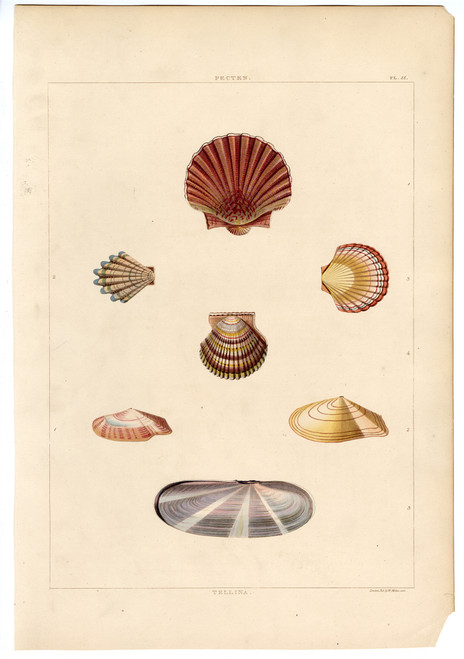 """PL. 55, Pecten"", Hand-Colored Engraving, Circa 1811"