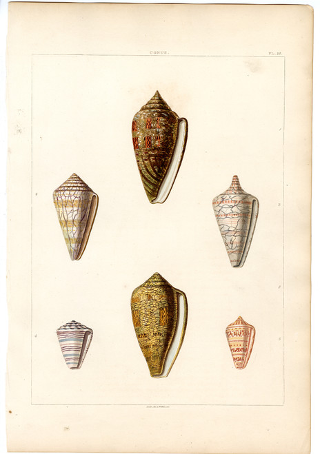 """PL. 25, Conus"", Hand-Colored Engraving, Circa 1811"