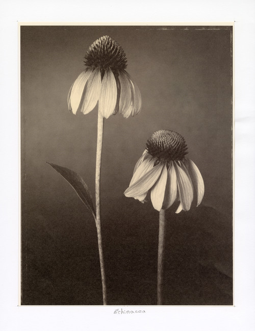 """Echinacea"", Photographic Print by Tom Baril"