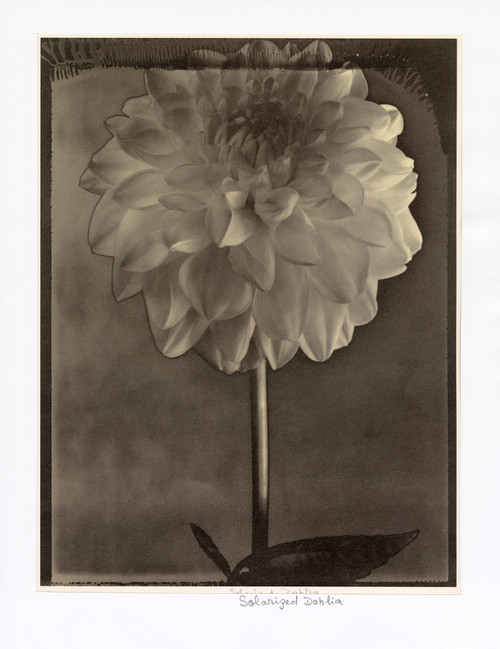 """Solarized Dahlia"", Photographic Print by Tom Baril"
