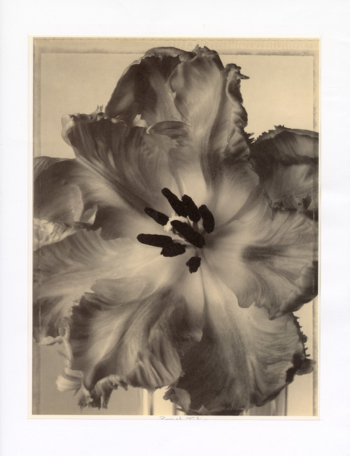 """Parrot Tulip"", Photographic Print by Tom Baril"