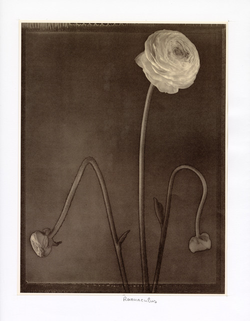 """Ranunculus"", Photographic Print by Tom Baril"