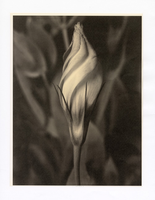 """Eustoma"", Photographic Print by Tom Baril"