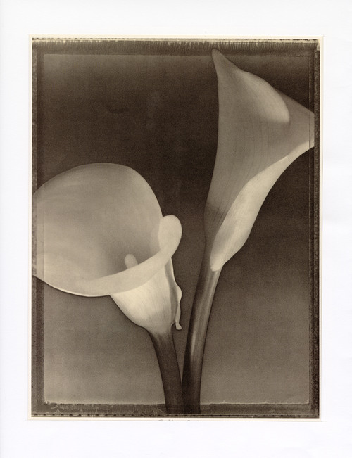 """Cala Lilies"", Photographic Print by Tom Baril"