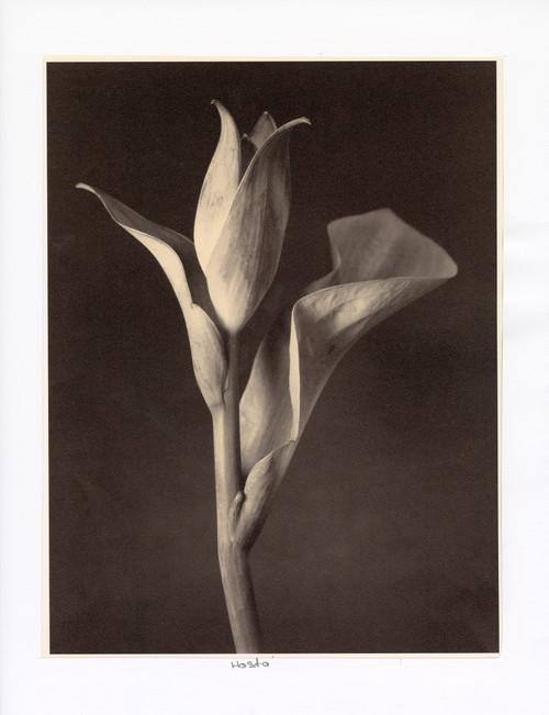 """Hosta"", Photographic Print by Tom Baril"