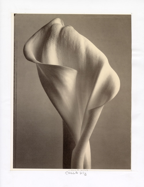 """Cala Lily"", Photographic Print by Tom Baril"