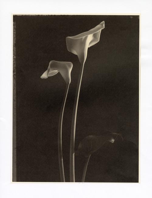 """Two Callas"", Photographic Print by Tom Baril"