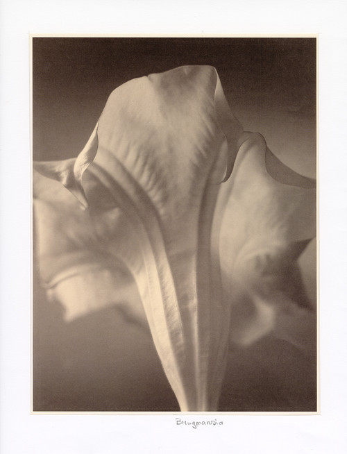 """Brugsmansia"", Photographic Print by Tom Baril"