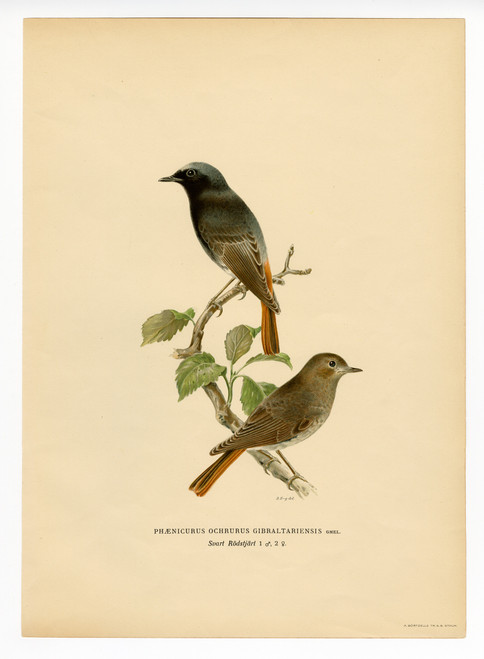 """Phoenicurus Ochruros Gibraltariensis"" (Black Redstart), Early 20th Cent. Lithograph"