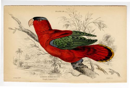 """""""Lorius Domicellus"""", Original 19th Century Engraving"""