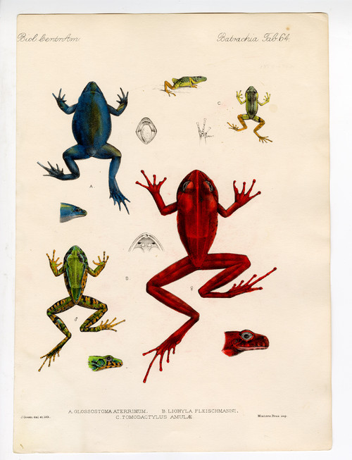 Hand Colored Copper Engravings of Colorful Frogs, 19th Century (2) (SOLD)