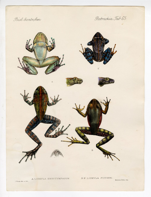 Hand Colored Copper Engravings of Colorful Frogs, 19th Century (3) (SOLD)