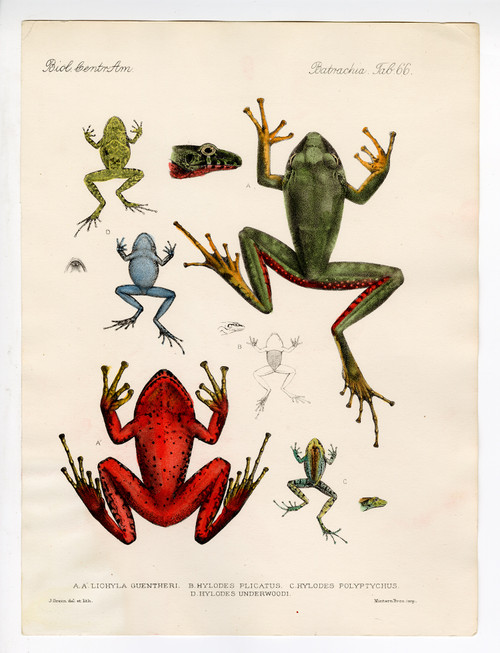 Hand Colored Copper Engravings of Colorful Frogs, 19th Century (4) (SOLD)